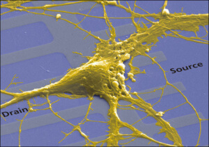 nervechip_zoom (This image shows the rat neuron on a transistor)