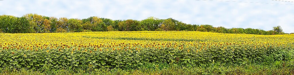 Sunflower Season