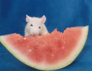 Fancyrat1 eating watermelon
